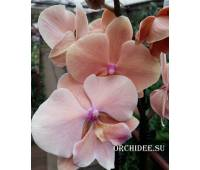 Phalaenopsis PH 315 Autumn Wind Big Lip