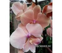 Phalaenopsis PH 315 Autumn Wind Big Lip