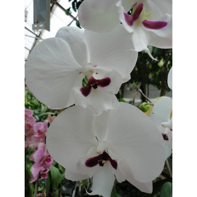 Phalaenopsis PH 242 Big Lip