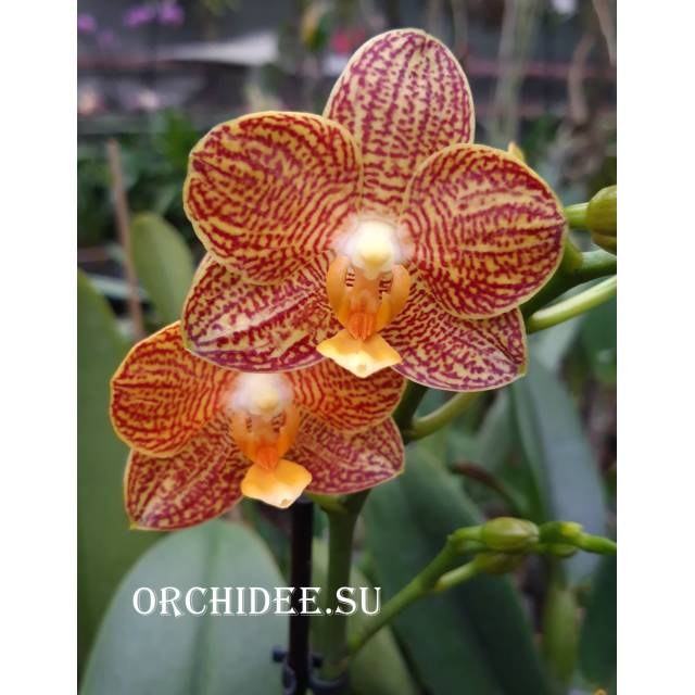 Phalaenopsis PHM 162 Little Zorro