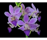 "Doritaenopsis DTPS 007 Purple Gem ""Aida"""