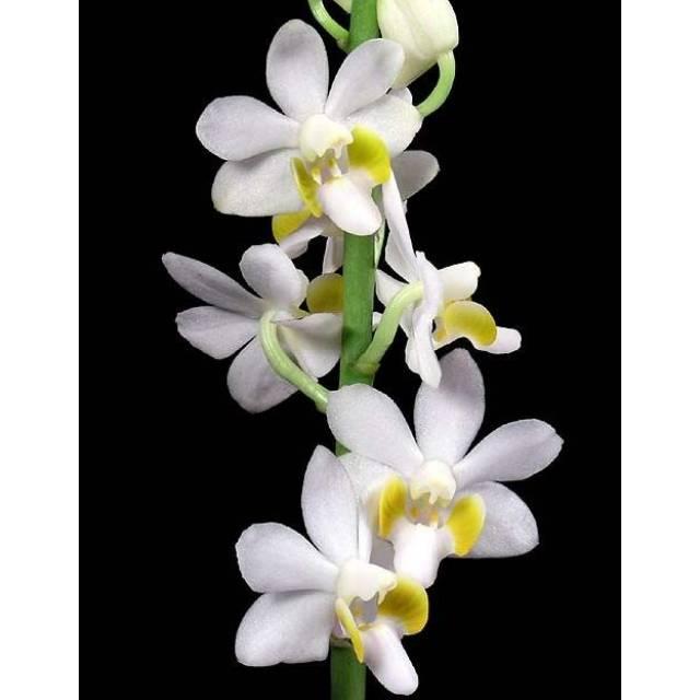Doritaenopsis DTPS 009 pulcherrima var. alba