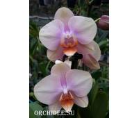 Phalaenopsis PH 319