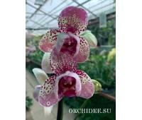 Phalaenopsis PH 067/1 Frontera peloric