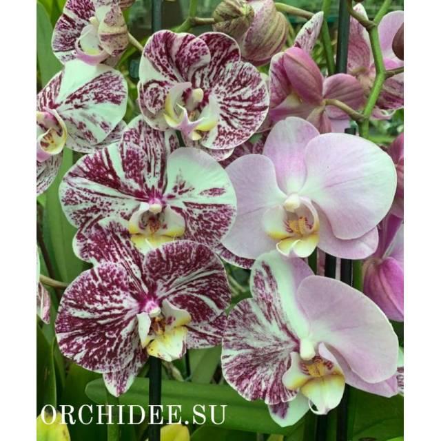 Phalaenopsis PH 303/1 Mutant