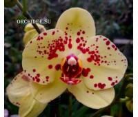 Phalaenopsis PH 318 Albufeira