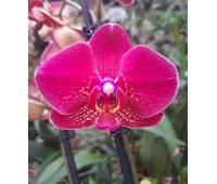 Phalaenopsis PH 322 Red Dion