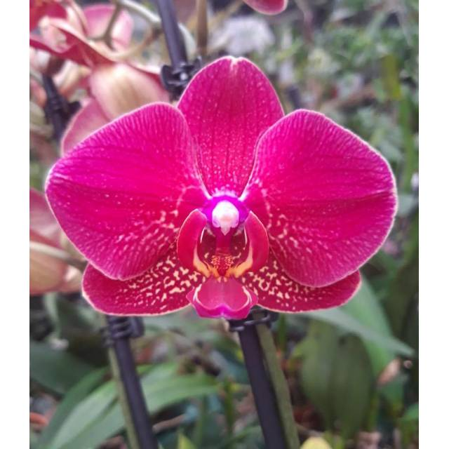 Phalaenopsis PH 322 Red Dion