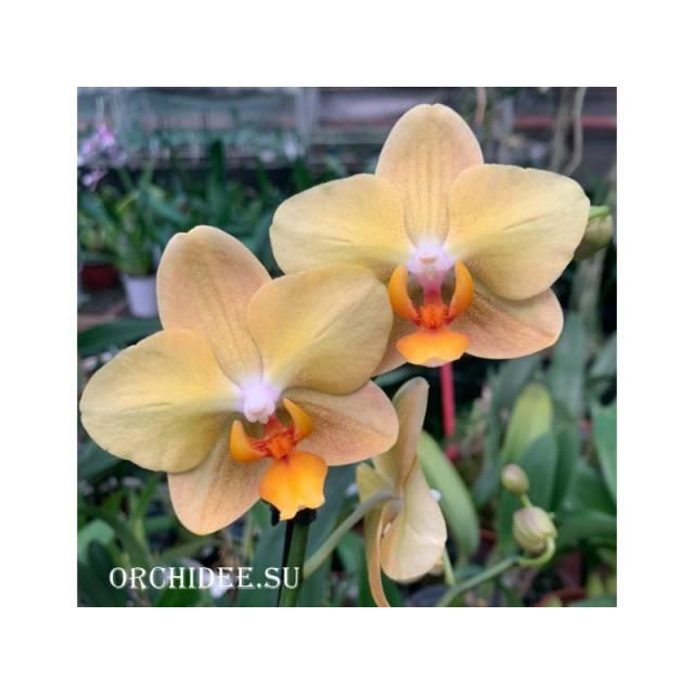 Phalaenopsis PH 323 Little Emperor
