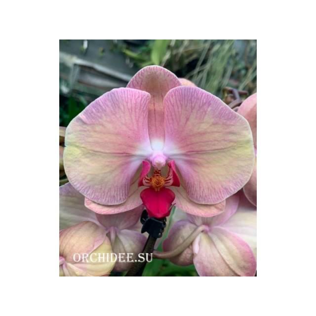 Phalaenopsis PH 324 Volcano