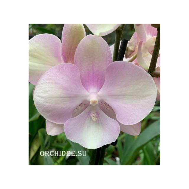 Phalaenopsis PH 327 Big Lip Venticien Carnaval