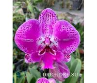 Phalaenopsis PH 329 Big Lip