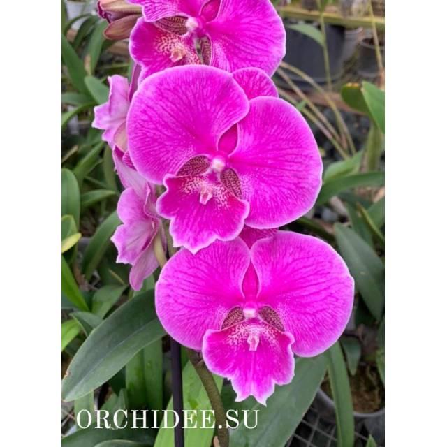 Phalaenopsis PH 330 Miki Strawberry Freckle '118' Big Lip