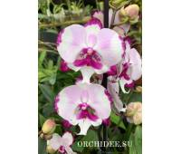 Phalaenopsis PH 332 King Car Dalmatian Big Lip