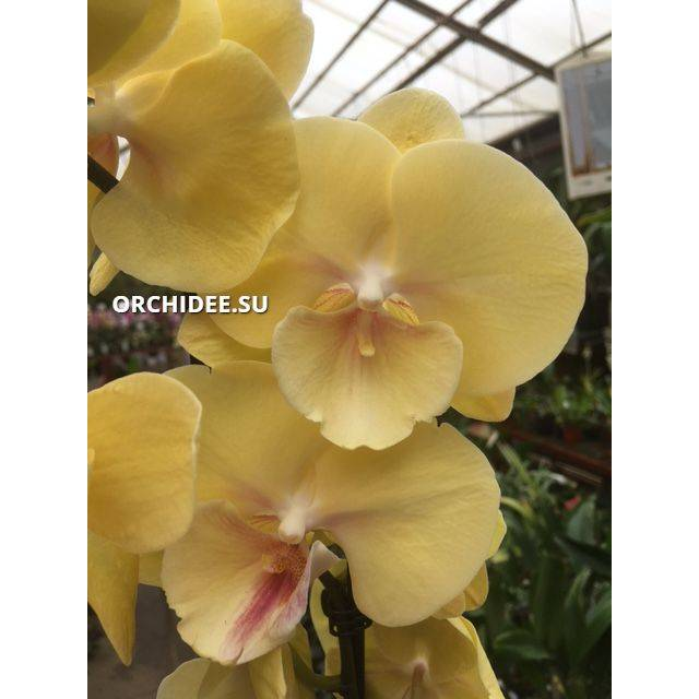 Phalaenopsis PH 333 Big Lip