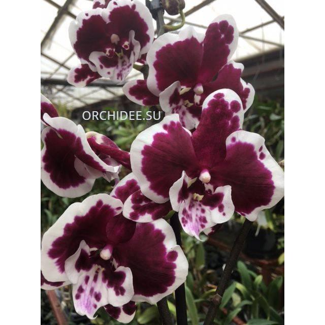 Phalaenopsis PH 334 Big Lip