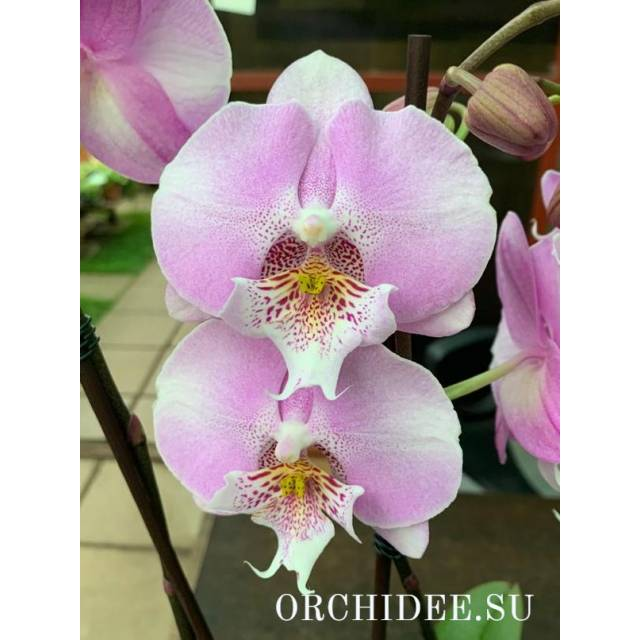 Phalaenopsis PH 335 Younghome Princess Big Lip