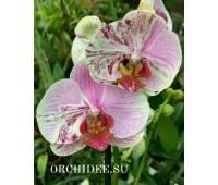 Phalaenopsis PH 336/1 Mutant