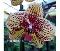 Phalaenopsis PH 337 Elegant Karin Aloha