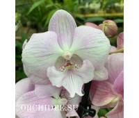 Phalaenopsis PH 338 Big Lip