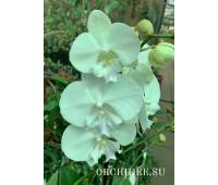 Phalaenopsis PH 340 Big Lip