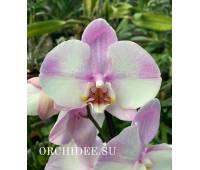 Phalaenopsis PH 341