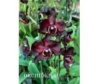 Phalaenopsis PH 342