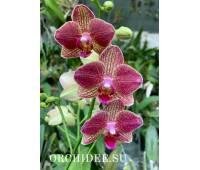 Phalaenopsis PH 343