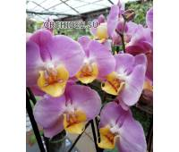 Phalaenopsis PH 346 Rose Honey