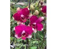 Phalaenopsis PH 348