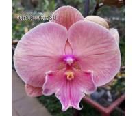 Phalaenopsis PH 350 Big Lip