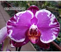 Phalaenopsis PH 351 Sacrifice
