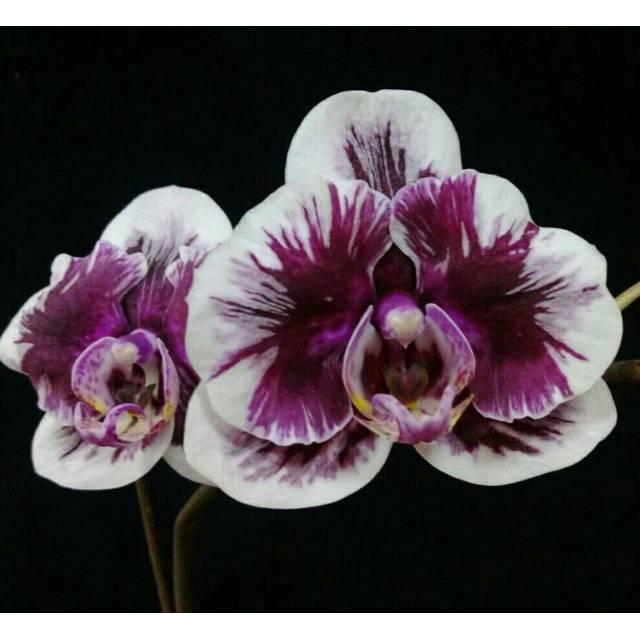 Phalaenopsis Hsinying Little Knight 'Voodoo'