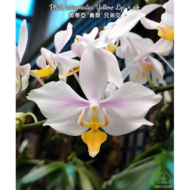 Phalaenopsis intermedia 'Yellow Lip' × sib