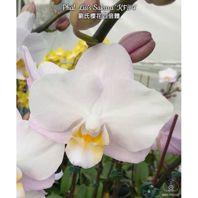 Phalaenopsis Liu's Sakura KF#4