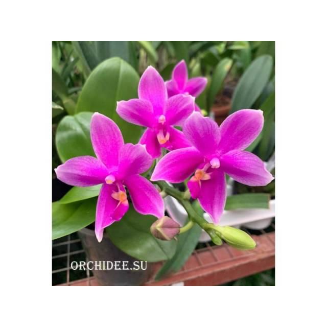 Phalaenopsis Miki Flora