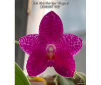 Phalaenopsis Mok Choi Yew 'Magenta'