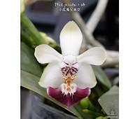 Phalaenopsis parishii × sib