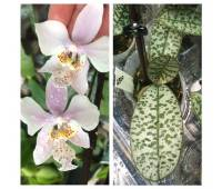 Phalaenopsis schilleriana (silver leaves) x stuartiana var.nobilis