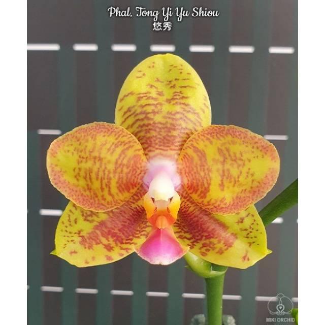 Phalaenopsis Tong Yi Yu Shiou