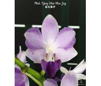 Phalaenopsis Tying Shin Blue Jay