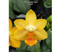 Phalaenopsis Yaphon Cupid
