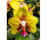 Phalaenopsis Summer Lady