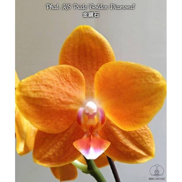 Phalaenopsis KS Pride 'Golden Diamond'