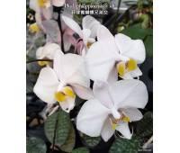 Phalaenopsis philippinensis x sib