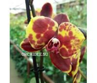 Phalaenopsis PHM 172 Flaming Jazz