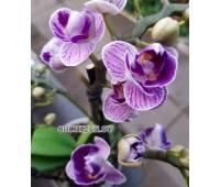 "Phalaenopsis PHM 012/1 Sogo Vivien ""Special Indigo"" peloric 3 lip"