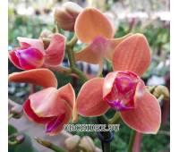 Phalaenopsis PHM 095/1 Paprika peloric 3 lip