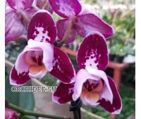 Phalaenopsis PHM 116/1 Bubbles peloric 3 lip