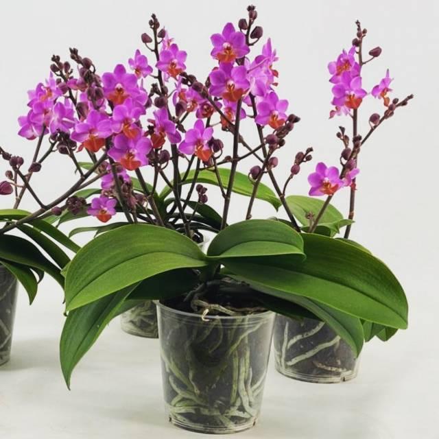 Phalaenopsis PHM 195 Lilac Table